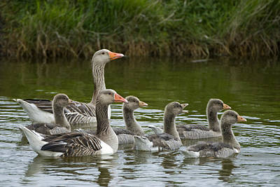 Greylag Goose Anser Anser Couple Poster by Willi Rolfes