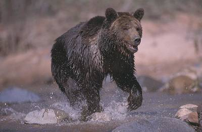 Grizzly Bear Running Through Stream Poster by Natural Selection David Ponton