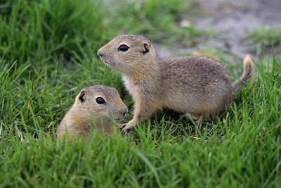 Ground Squirrels, Oak Hammock Marsh Poster by Mike Grandmailson