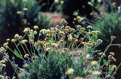 Guayule Plants Poster