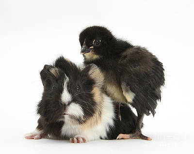 Guinea Pig And Black Bantam Chick Poster by Mark Taylor