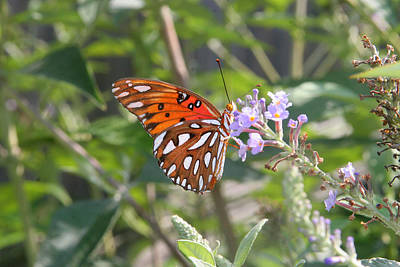 Poster featuring the photograph Gulf Fritillary #3 by Paula Tohline Calhoun