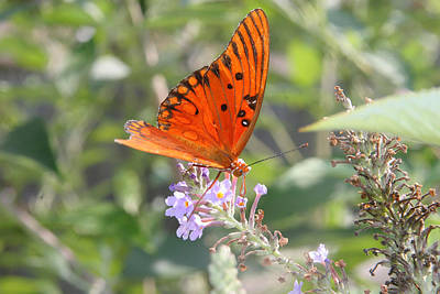 Poster featuring the photograph Gulf Fritillary #4 by Paula Tohline Calhoun