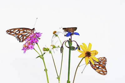 Gulf Fritillary And Brown Skipper Poster
