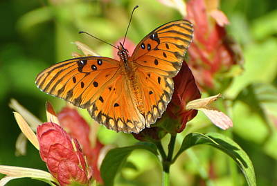 Gulf Fritillary Butterfly On Flower Poster