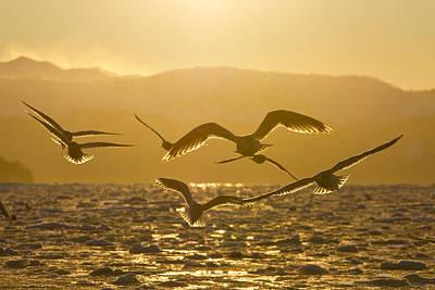 Gulls In Golden Light Poster
