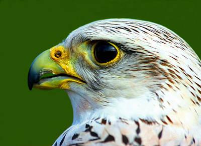 Gyr Falcon Poster by Ron Boily