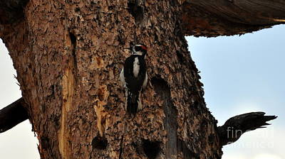 Hairy Woodpecker On Pine Tree Poster