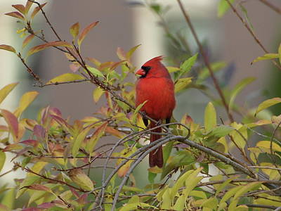 Handsome Cardinal Poster