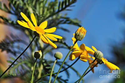 Happy Daisies Poster by Kaye Menner