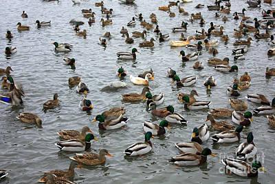 Happy Ducks Poster by Carol Groenen
