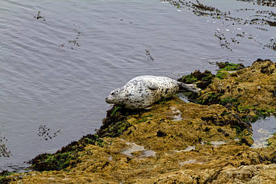Harbor Seal Taking A Nap Poster