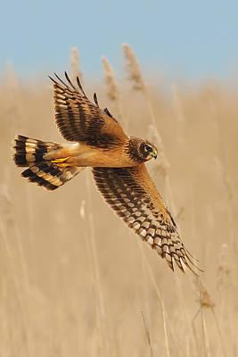 Harrier Over Golden Grass Poster