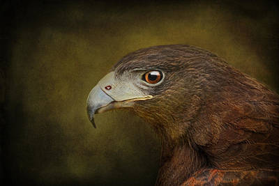 Harris Hawk Profile Poster