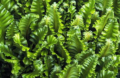 Hart's Tongue Fern Poster by Archie Young