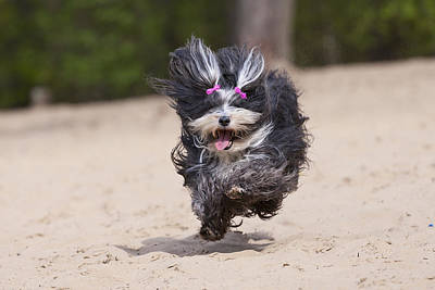 Havaneser Dog Above Sand Poster
