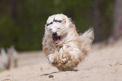 Havaneser Dog, Sandrunner Poster