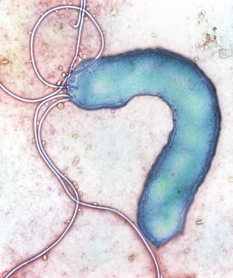 Helicobacter Pylori Bacterium Poster by Nibsc