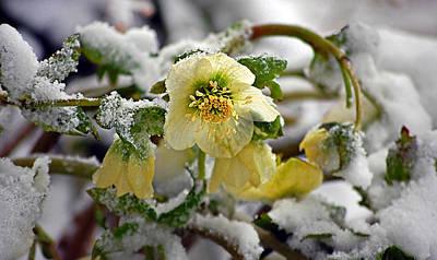 Hellebore Flowers Blooming In Snow Poster