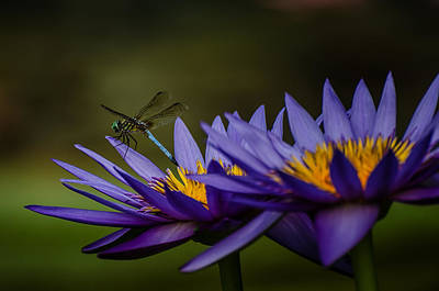 Hello Mr. Dragonfly - Water Lily Poster