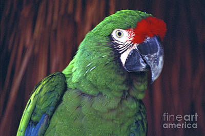 Poster featuring the photograph Here's Looking At You Military Macaw Riviera Maya Mexico by John  Mitchell