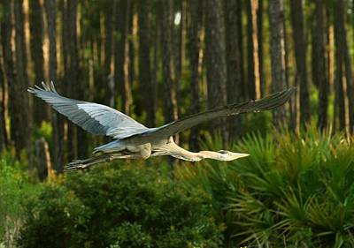 Poster featuring the photograph Heron In Flight by Rick Frost