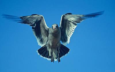 Herring Gull In Hummingbird Mode Poster