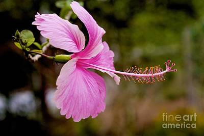 Poster featuring the pyrography hibiscus flower of Borneo.  by Gary Bridger