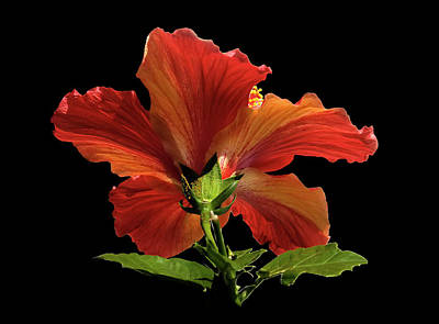 Poster featuring the photograph Hibiscus by Geraldine Alexander
