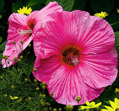 Poster featuring the photograph Hibiscus by Michael Friedman