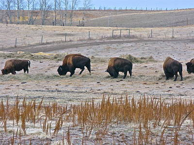 Poster featuring the photograph High Plains Buffalo by Brian Sereda