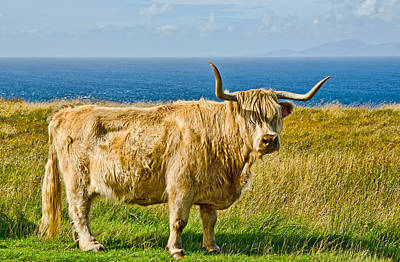 Highland Cow Poster