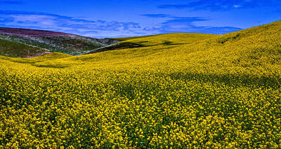 Hills Of Canola Poster by David Patterson