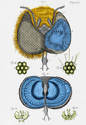 Historical Illustration Of Honey Bee Eye Poster by Photo Researchers