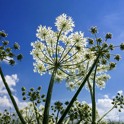 Hogweed  Poster