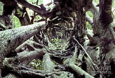 Hollow Trunk Of Strangler Fig Poster