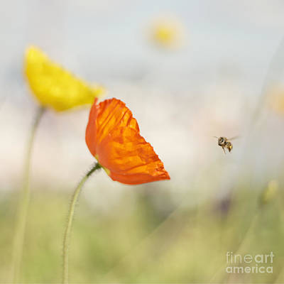 Honey Bee And Colorful Poppies Poster