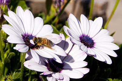Honey Bee On Blue Eyed Daisies Poster