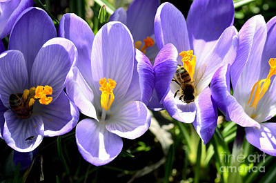 Honeybees Working Crocus Poster