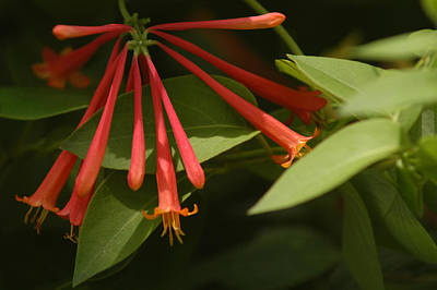 Poster featuring the photograph Honeysuckle by Wanda Brandon