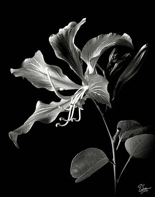 Hong Kong Orchid In Black And White Poster