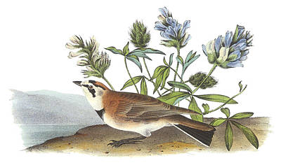 Horned Lark Poster by John James Audubon