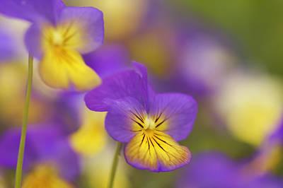 Horned Pansy Or Horned Violet (viola Cornuta) Poster