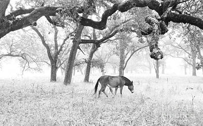 Horse In Foggy Field Of Oaks Poster