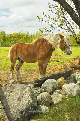 Horse Near Strone Wall In Field Spring Maine Poster by Keith Webber Jr