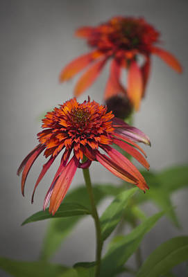 Hot Papaya Coneflowers Poster