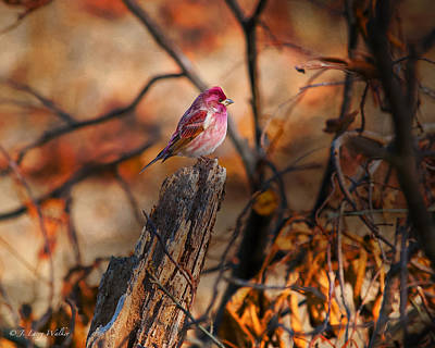 House Finch High And Lifted Up Poster
