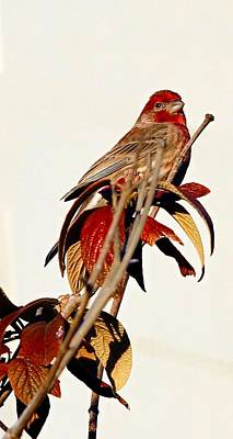 Poster featuring the photograph House Finch Perch by Elizabeth Winter