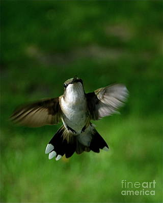 Hovering Hummingbird  Poster by Sue Stefanowicz