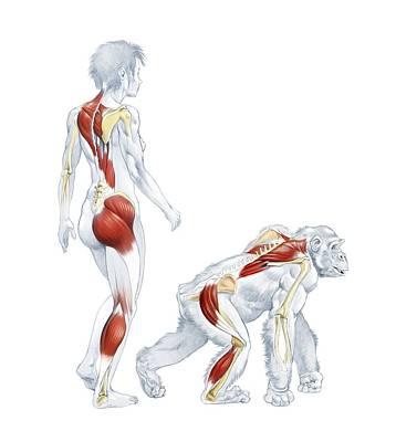 Human And Ape Anatomy Poster